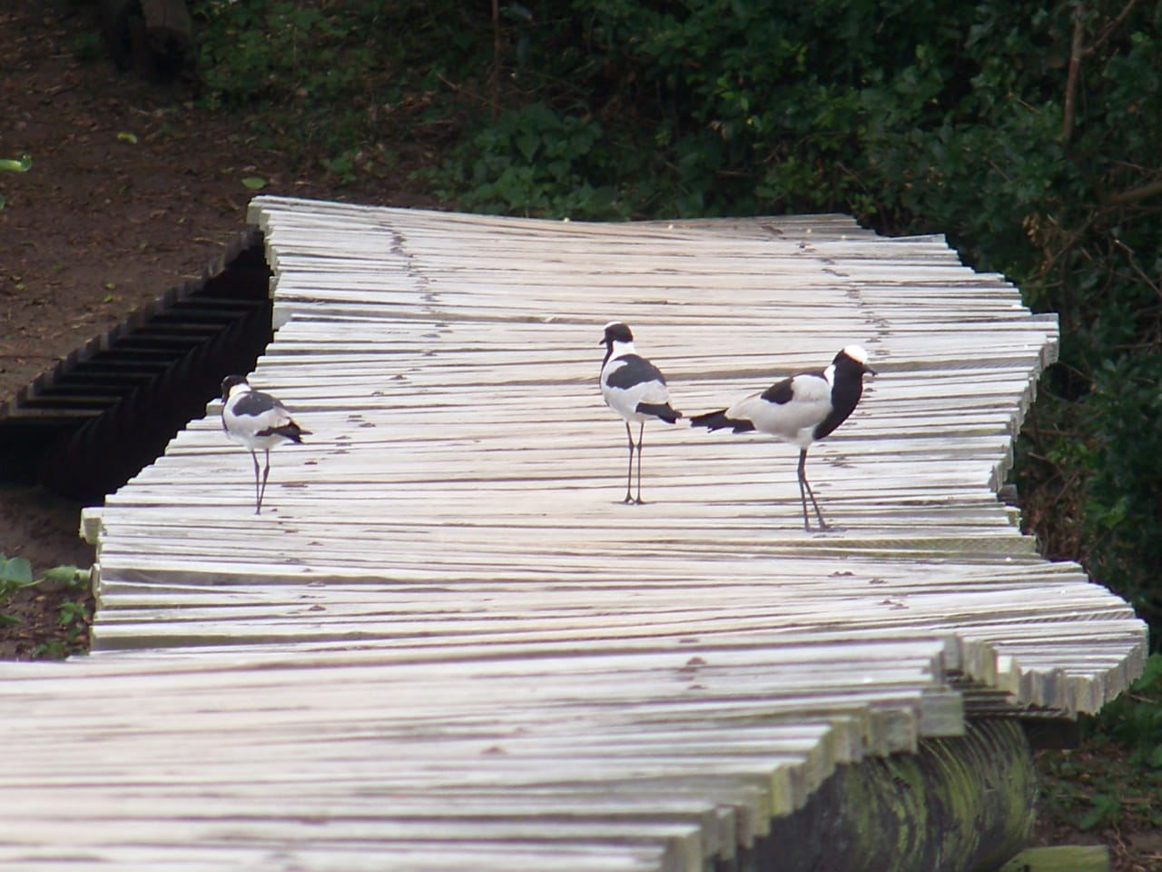 Blacksmith lapwings (Vanellus armatus) at Umhlanga Lagoon – a great place for bird lovers